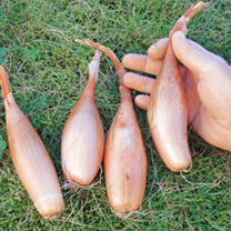 Shallot Banana Seed - Zebrune
