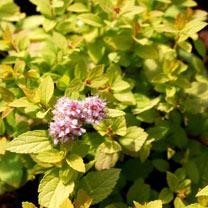 Spiraea japonica Plant - Sundrop