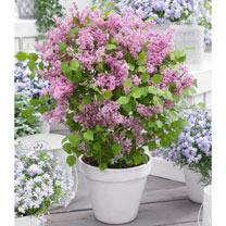 Syringa meyeri Plant - Flowerfesta