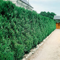 Thuja Atrovirens (Western Red Cedar) Plants - 2L Value Hedging Range