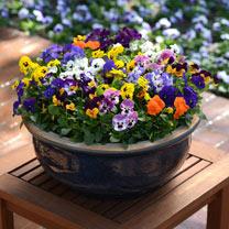 Viola Plants - Autumn Select Mix