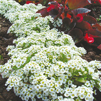 Alyssum Seeds - Snow Carpet (Improved Strain)