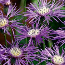 Amberboa Seeds - Desert Star