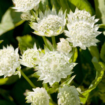 Astrantia Plant - White Angel