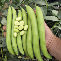 Bean Broad Plants - Luz de Otono