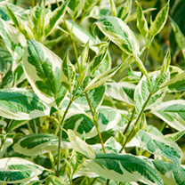 Cornus alba Plant - Ivory Halo
