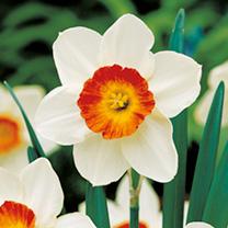 Daffodil Bulbs - Aflame