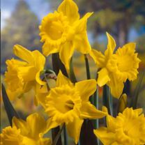 Daffodil Bulbs - King Alfred