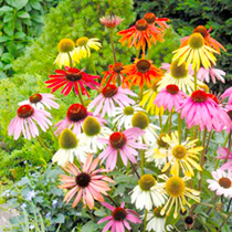 Echinacea Seeds - Paradiso Mix