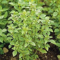 Herb Seed - Basil Bush