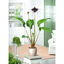 Houseplant Seeds - Bat Flower