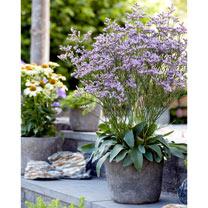 Limonium Plants - Dazzle Rocks