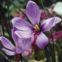 Saffron Crocus Bulbs