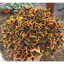 Coleus Plant - Walter Turner