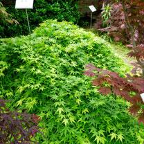 Acer palmatum Plant - Ryusen 40/80