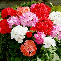 Geranium Upright Mix Plants - Our Selection