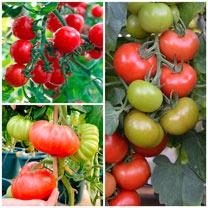 Grafted Tomato Plants - F1 Crimson Collection
