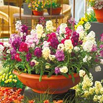 Stock Plants - Sugar & Spice