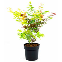 Acer palmatum Plant - Festival 30/40