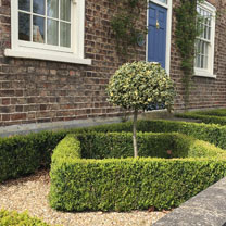 Buxus Sempervirens (Common Box) Plants - 2L Value Hedging Range