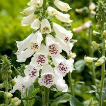 Digitalis Plant - Dalmation White