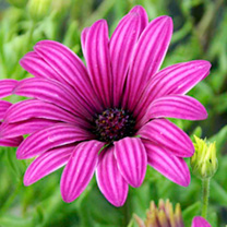 Osteospermum Plant - Tresco Purple