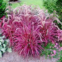 Pennisetum Plants - Fireworks