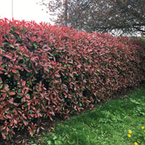 Photinia Red Robin (Red Laurel) Plants - 2L Value Hedging Range