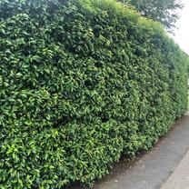 Prunus Lusitanica (Portugese Laurel) Plants - 2L Value Hedging Range