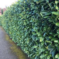 Prunus laurocerasus Rotundifolia (Cherry Laurel) Plants - 2L Value Hedging Range