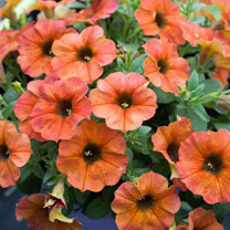 'Super' Petunia (Beautical) Plants - Cinnamon