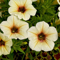 'Super' Petunia (Beautical) Plants - French Vanilla