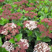 Viburnum tinus Plant - 'Lisarose' Noble