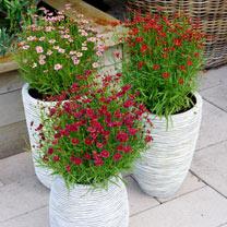 2 Litre Bedding Plants - Our Selection