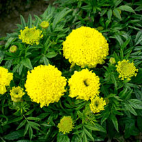 African Marigold Seeds - Cupid Lemon