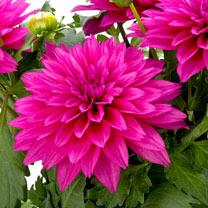 Dahlia Plant - LaBella