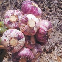 Garlic Bulbs - Germidour