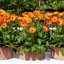 Gerbera Plants - Sweet Sunset