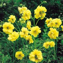 Geum Plants - Lady Stratheden