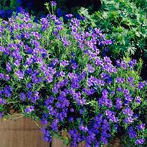 Lithodora Plants - Heavenly Blue