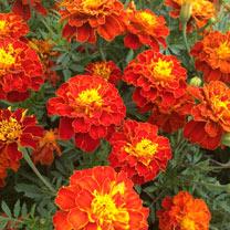 Marigold Plants - Firebird