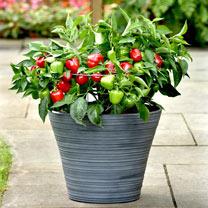Patio Veg Plants Collection