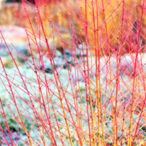 Cornus sanguinea Plant - 'Midwinter Fire'