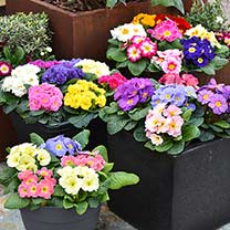 Primula Plants - Mixed