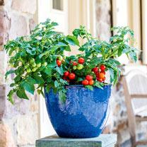 Tomato Seeds - Veranda Red F1