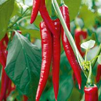 Pepper Chilli Grafted Plant - F1 Medina
