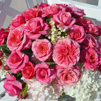 Rose Plant - Timeless Pink