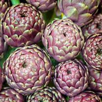Artichoke Vegetable Seeds - Purple de Provence