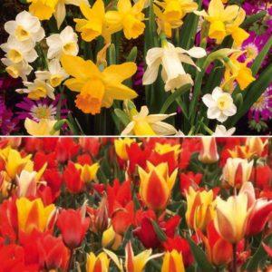 32 Dwarf Tulip and 32 Dwarf Daffodil Bulbs and FREE Compost Kit