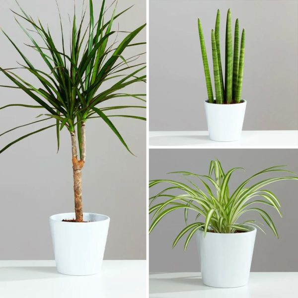 Air Purifying Houseplant Collection 3 Plants in 12cm Ceramic Pots